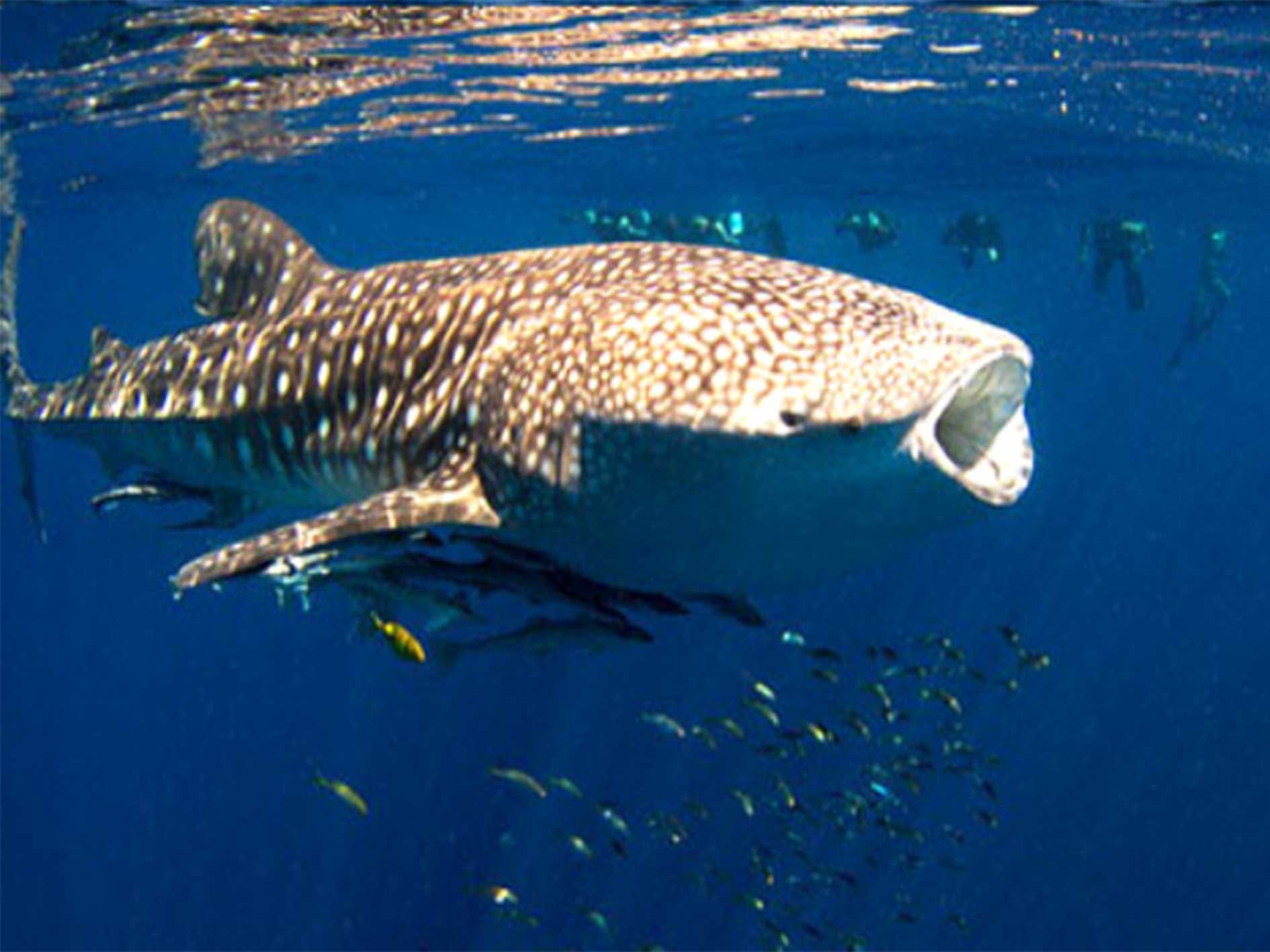Whale shark, eco tour, our partners, whaleshark tour, Ningaloo Reef, Western Australia, Exmouth Adventure Co