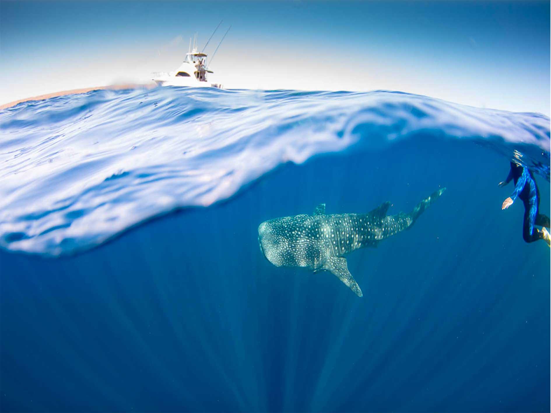 Whale shark, swim, eco tour, our partners, whaleshark tour, Ningaloo Reef, Western Australia