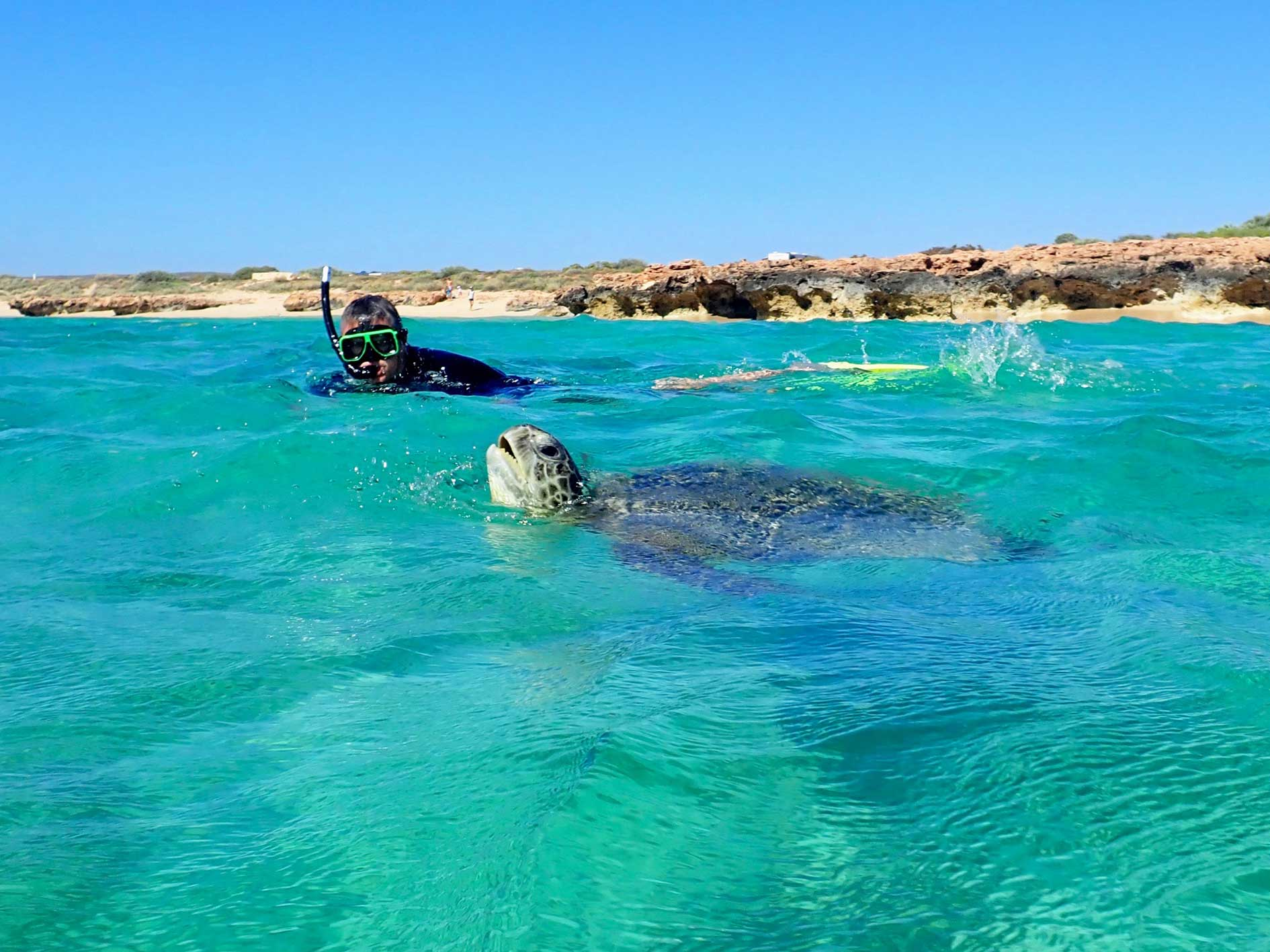 Man snorkelling as a turtle breaks the surface to take a breath right beside him on sea kayak and snorkel tour in Cape Range national Park