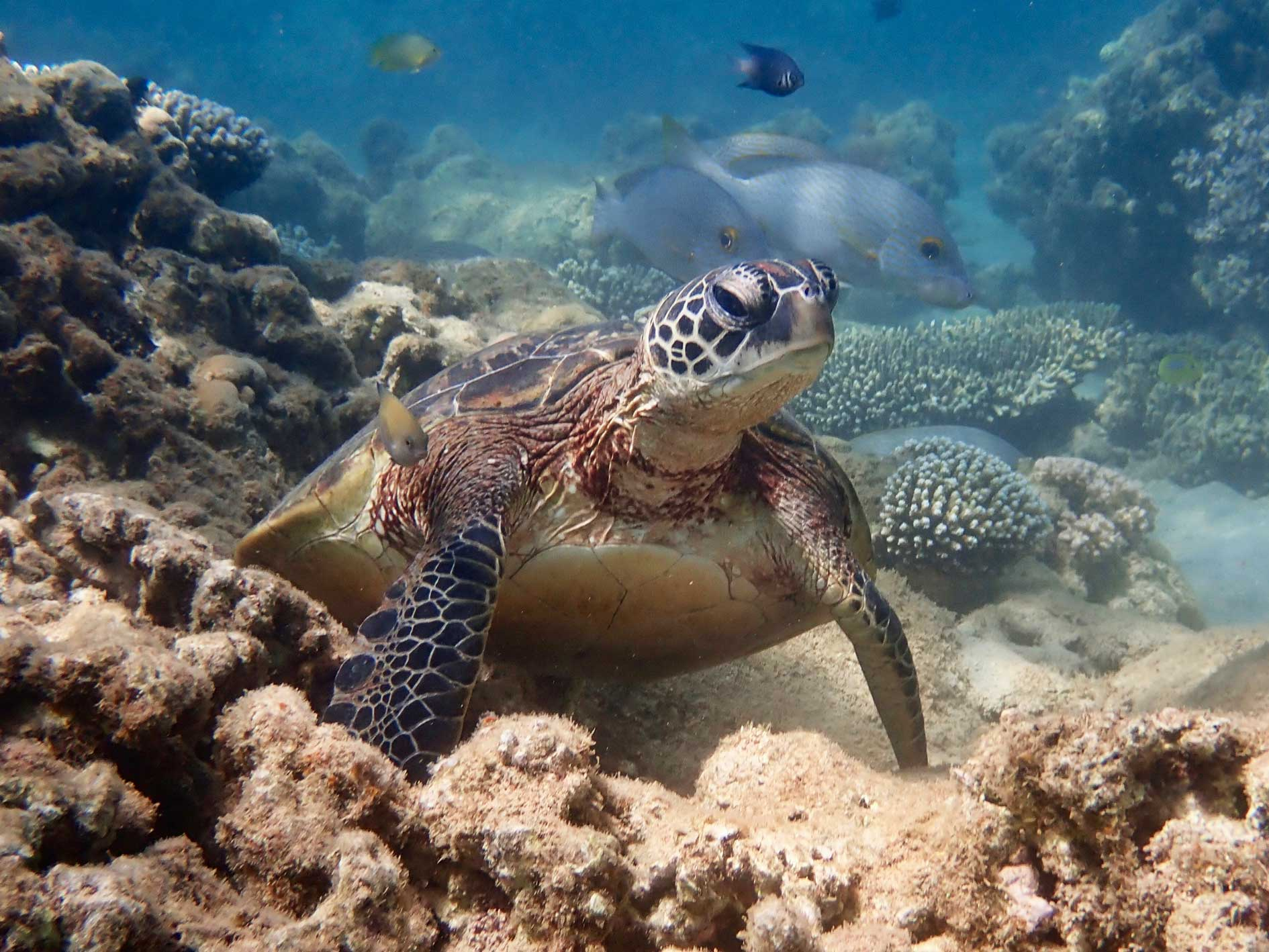 Turtle rests on a coral reef surrounded by fish, seen while snorkelling on Turtle Tour at Exmouth, Ningaloo Reef, Western Australia