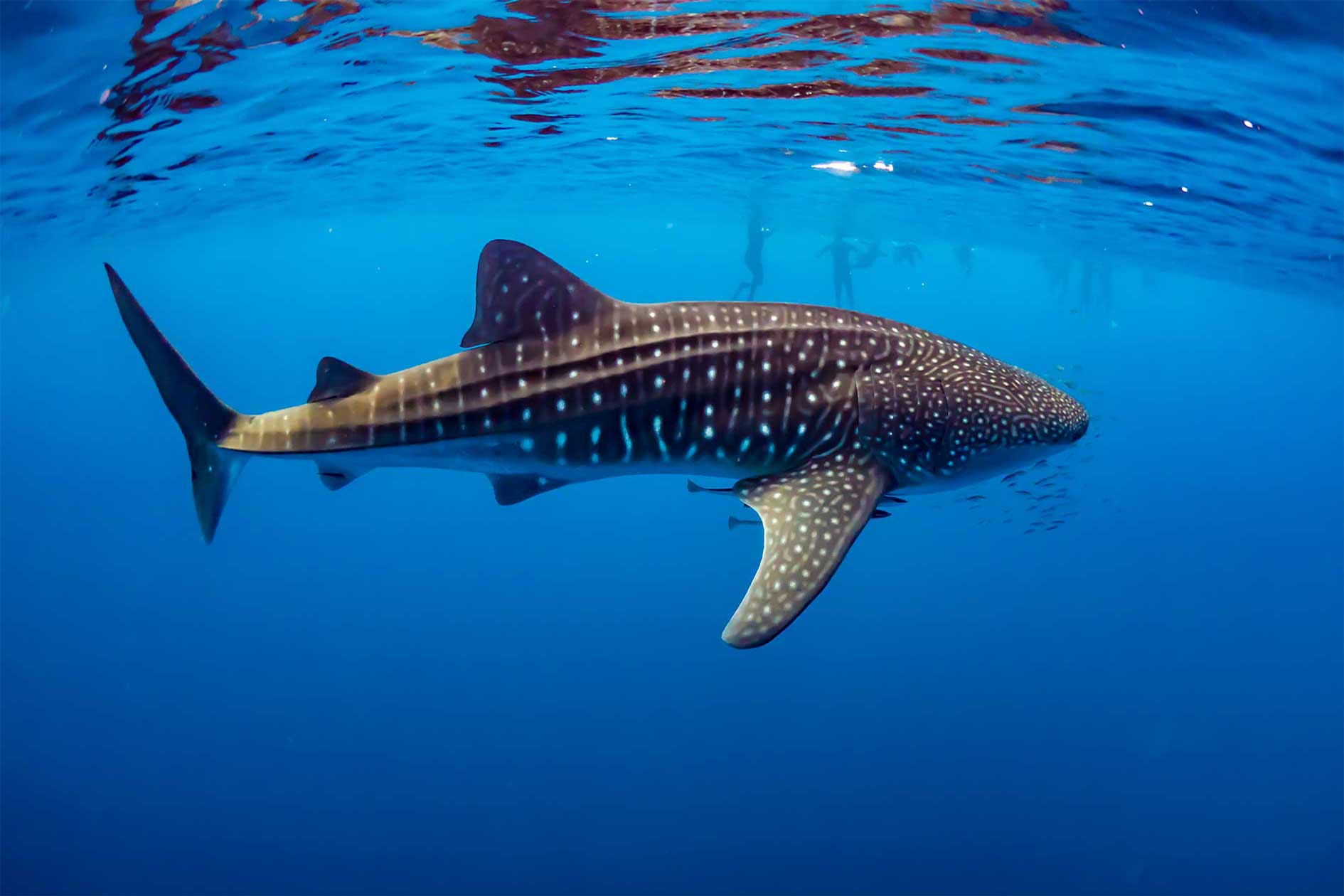 Swimming with a whale shark at Exmouth, Ningaloo Reef