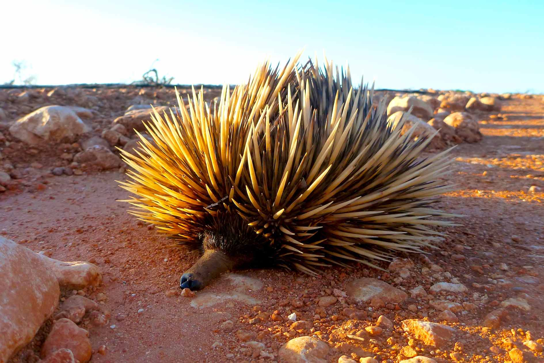 An echidna rests by the side of the road, these shy monotremes can be found year round on Ningaloo's Wildlife calendar